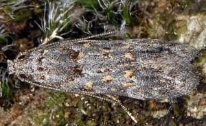 Istrianis myricariella 1