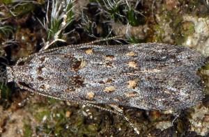 Istrianis myricariella 2