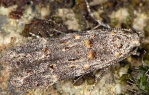 Istrianis myricariella 6