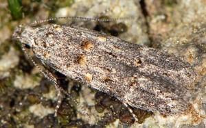 Istrianis myricariella 8