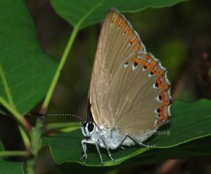Laeosopis roboris 2