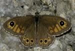 Lasiommata maera (I, P)