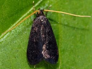 Lecithocera nigrana 1