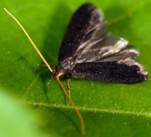 Lecithocera nigrana 2