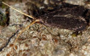Lecithocera nigrana 4