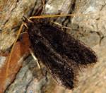 Lecithocera nigrana (I)