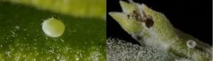 Leptotes pirithous
