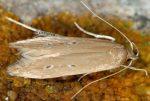 Limnaecia phragmitella 13 1