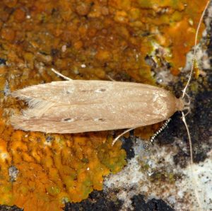 Limnaecia phragmitella 13 3