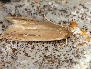 Limnaecia phragmitella 13 4