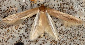 Limnaecia phragmitella 13 6