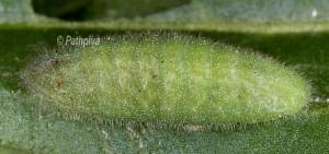 Lycaena alciphron