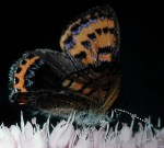 Lycaena helle (I)