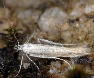 Megacraspedus lanceolellus 1