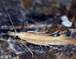 Megacraspedus lanceolellus 3