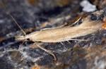 Megacraspedus lanceolellus (I)
