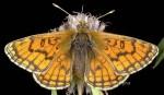 Melitaea parthenoides (I)