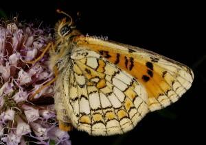 Melitaea parthenoides
