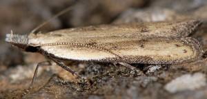 Mesophleps corsicella 2