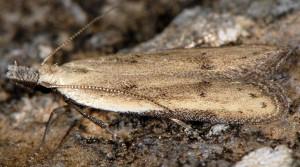 Mesophleps corsicella 3