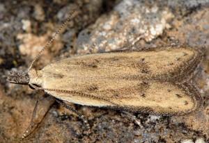 Mesophleps corsicella 4