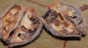 Mesophleps corsicella L5 1