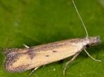 Mesophleps ochracella (I)