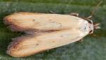 Mesophleps silacella (I)