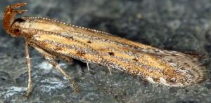 Metzneria paucipunctella 1