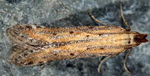 Metzneria paucipunctella 2