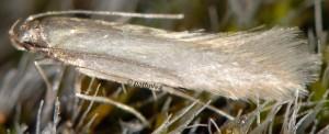 Monochroa bronzella 2