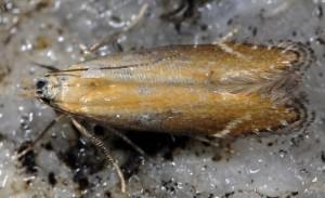 Monochroa cytisella 3