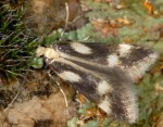 Monochroa dellabeffai (I)
