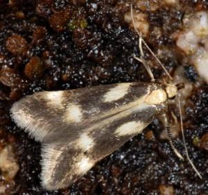 Monochroa dellabeffai 2