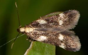 Monochroa dellabeffai 4