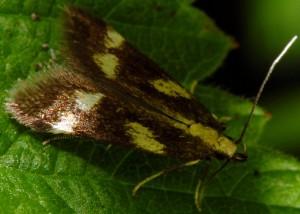 Monochroa dellabeffai 5