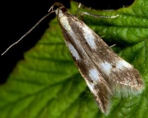 Monochroa dellabeffai 6