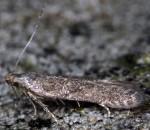 Monochroa hornigi (I, G)