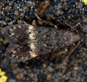 Monochroa sepicolella 1
