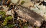 Monochroa tenebrella (I, G)