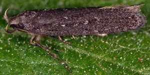 Neofaculta ericetella 5