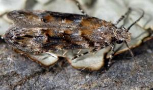 Neotelphusa sequax 1