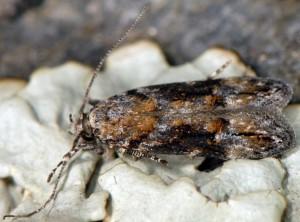 Neotelphusa sequax 2