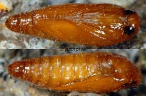 Neotelphusa sequax p