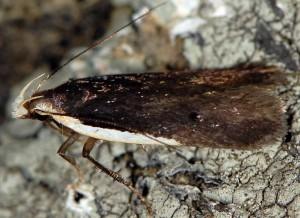 Nothris lemniscellus 2