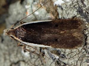 Nothris lemniscellus 3