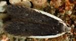 Nothris lemniscellus (I, G)