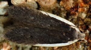 Nothris lemniscellus 4