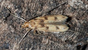 Oecia oecophila