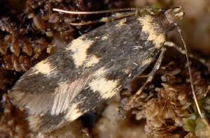 Oegoconia caradjai 8